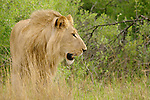 Lion (Pantera leo) at the Kwara Reserve, Okavango Delta, Botswana.
