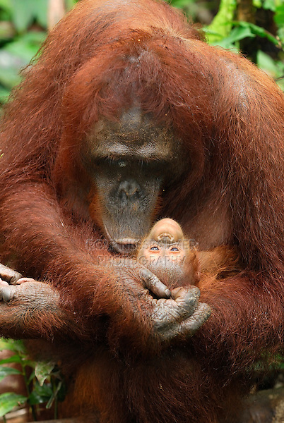 Bornean Orangutan (Pongo pygmaeus), female holdings its baby, Camp Leaky, Tanjung Puting National Park, Kalimantan, Borneo, Indonesia
