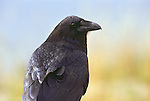 A close-up of a raven in Yellowstone National Park, Wyoming.
