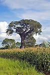 Baobab in maize field, near Salima