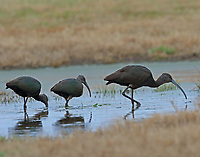Group of nonbreeding glossy ibises feeding