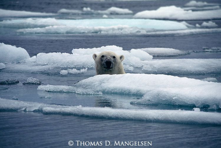 A polar bear swims among the ice floes.