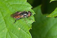 Schwebfliege, Tropidia scita, Hoverfly, Hover-fly