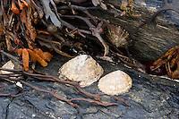 Gemeine Napfschnecke, Patella vulgata, bei Ebbe, Niedrigwasser auf Fels, Felswatt, common limpet, common European limpet, Patellidae, Napfschnecken, impets, true limpets