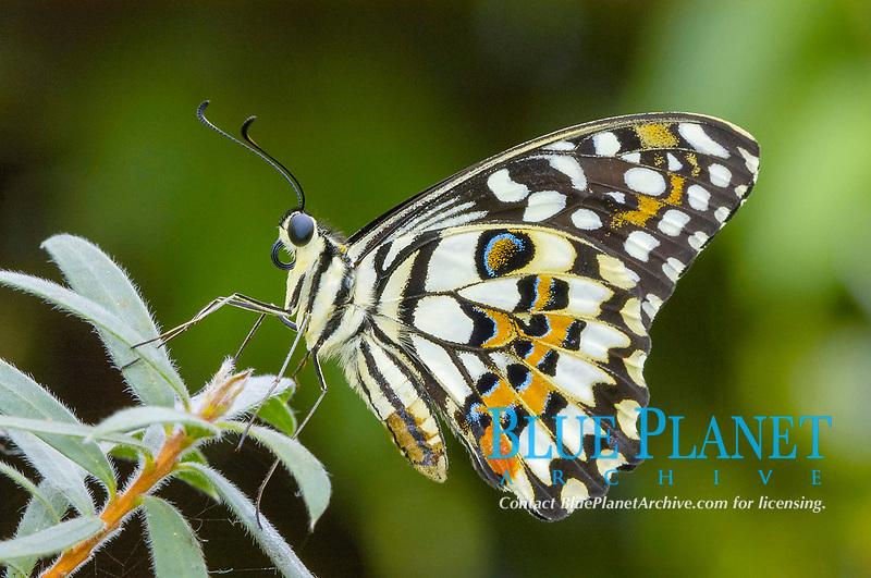 Lime Swallowtail (Papilio demoleus)
