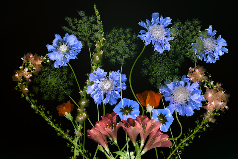 "Close up of Queen Anns Lace, Pincushion flower,Astromeria, and  Glaucium flavum ""Horned poppy. Oregon"