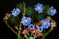 """Close up of Queen Anns Lace, Pincushion flower,Astromeria, and  Glaucium flavum """"Horned poppy. Oregon"""