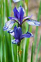 Iris sibirica 'Flight of Butterflies', mid May. A Siberian iris with bright violet-blue falls, heavily veined over white.