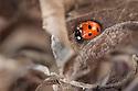 Seven-spot ladybird (Coccinella 7-punctata) hibernating amongst dead leaves. Peak District National Park, Derbyshire, UK. March.