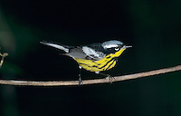 Magnolia Warbler, Dendroica magnolia,male, South Padre Island, Texas, USA, May 2005
