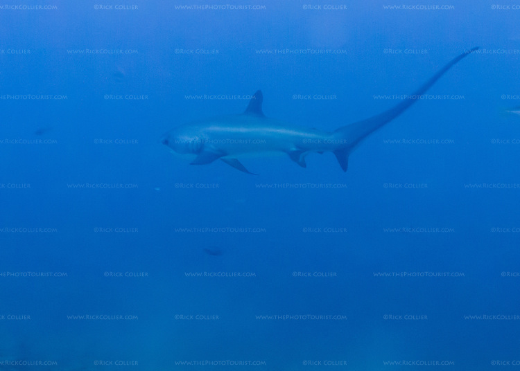 A thresher shark passes by in the distance, avoiding the throngs of divers waiting on Monad Shoal.  (At Monad Shoal near Malapascua Island, Central Visayas, the Philippines.)