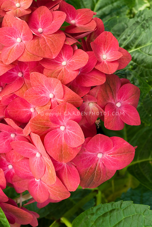Red Hydrangea macrophylla 'Red Sensation' Forever and Ever, showing closeup of garden hydrangea red flowers with green hints