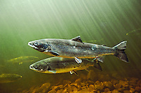 Atlantic Salmon (Salmo salar) adults migrate from salt water of North Atlantic Ocean upstream through the freshwater of their natal river to reach spawning grounds. Exploits River, Newfoundland. Canada.