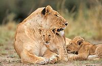 Lion female (panthera leo), Masai Mara, Kenya, Africa