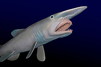 goblin shark, Mitsukurina owstoni, a living fossil, model (dc)