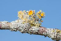 Golden-eye Lichen (Teloschistes chrysophthalmus) growing on a twig.