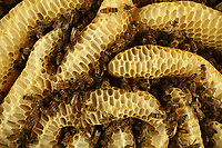 Honey storage wax comb made naturaly by honeybees without embossed wax.