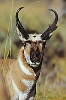 Pronghorn buck in prime condition during fall mating season, Western U.S.