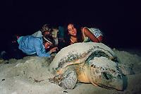 volunteers collect eggs of loggerhead sea turtle, Caretta caretta, nesting on beach, Key Biscayne, Florida, Atlantic Ocean