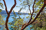 Madrone Trea, Arbutus manziesii along SR 20 near World famous Deception Pass Bridge. The bridge connects Fidalgo and Whidbey Islands in Puget Sound via Washington State Highway Route 20 near the towns of Anacortes and Oak Harbor.