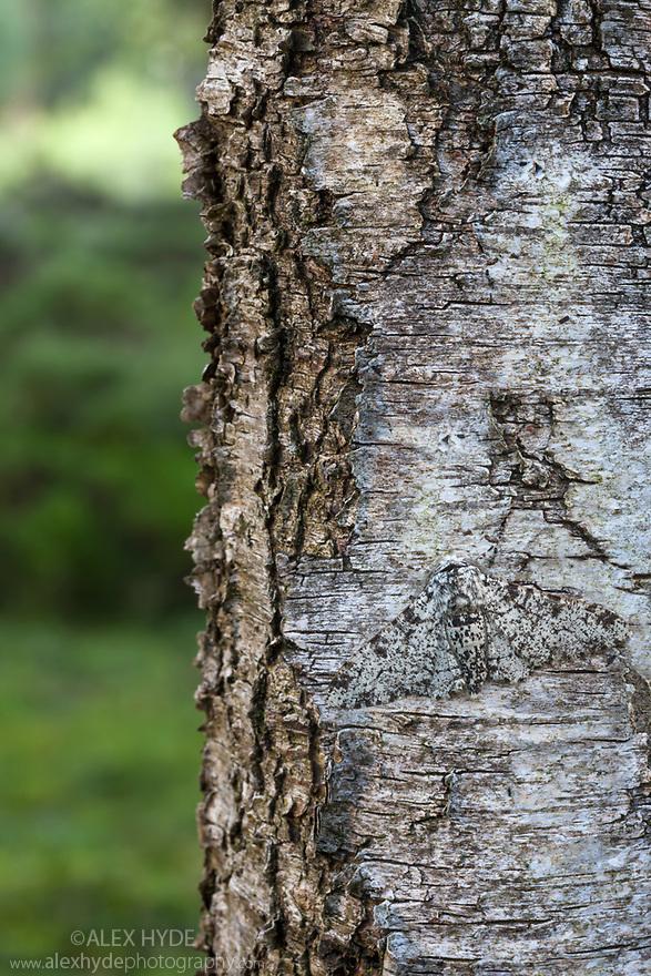 Peppered Moth {Biston betularia}, camouflaged on lichen-encrusted Birch (Betula sp.) tree trunk. Peak District National Park, Derbyshire, UK. July.