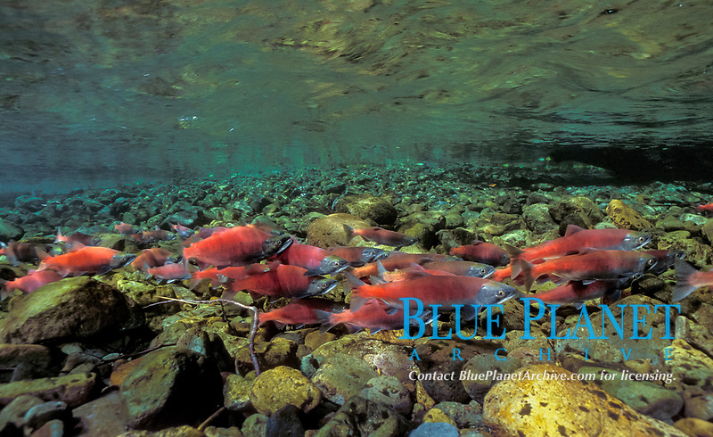 kokanee salmon, Oncorhynchus nerka, Cougar creek, washington