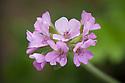 Scented-leaf pelargonium 'Attar of Roses' syn. Pelargonium capitatum 'Attar of Roses'