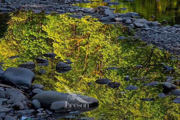 Bigleaf maple reflection in Sol Duc River.  Olympic Peninsula, WA.