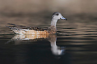 American Wigeon, Anas americana, adult swimming, Hill Country, Texas, USA, April 2007