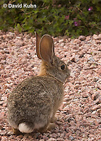 0717-1005  Desert Cottontail Rabbit (Audubons Cottontail), Sylvilagus audubonii  © David Kuhn/Dwight Kuhn Photography