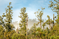 Kahikatea trees in morning light, Westland Tai Poutini National Park, UNESCO World Heritage Area, West Coast, New Zealand, NZ