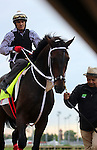 LOUISVILLE, KY - MAY 04:  Majesto (Tiznow x Unacloud, by Unaccounted For) is led off the track at Churchill Downs after exercising in preparation for the Kentucky Derby. Owner Grupo 7C Racing Stable, trainer Gustavo Delgado.(Photo by Mary M. Meek/Eclipse Sportswire/Getty Images)