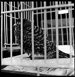 Jakarta, Indonesia. August, 2000. A Groshawk sits inside its cage for sale in Jati Negara, Jakarta. The illegal animal trade has flourished since Suharto resigned from office in 1998 a result of the Asian economic crisis.