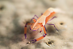 Puerto Galera, Oriental Mindoro, Philippines; an emperor shrimp living on it's host sea cucumber