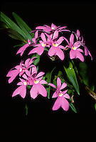 Oerstedella centradenia 'Maria Teresa' HCC/AOS orchid species now properly known as Epidendrum centropetalum, native to Central America Costa Rica