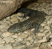 0524-1008  King's Skink, Egernia kingii  © David Kuhn/Dwight Kuhn Photography