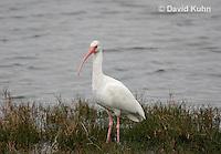 0111-0992  White Ibis, Eudocimus albus  © David Kuhn/Dwight Kuhn Photography.