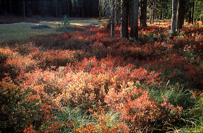 Red and orange bushes in autumn on the Bitterroot National Forest in Montana