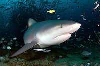 The bull shark, Carcharhinus leucas, also known as the Zambezi shark (UK: Zambesi shark) or unofficially Zambi in Africa and Nicaragua shark in Nicaragua, is a shark commonly found worldwide in warm, shallow waters along coasts and in rivers. The bull shark is known for its aggressive nature, predilection for warm shallow water, and presence in brackish and freshwater systems including estuaries and rivers.<br /> The bull shark can thrive in both saltwater and freshwater and can travel far up rivers. They have even been known to travel as far up as Indiana in the Ohio River, although there have been few recorded attacks. They are probably responsible for the majority of near-shore shark attacks, including many attacks attributed to other species. Bull sharks are not actually true freshwater sharks, despite their ability to survive in freshwater habitats.<br /> The name bull shark comes from the shark's stocky shape, broad, flat snout, and aggressive, unpredictable behavior. Its wide range and diverse habitats result in many other local names, including Ganges River shark, Fitzroy Creek whaler, van Rooyen's shark, Lake Nicaragua shark, river shark, freshwater whaler, estuary whaler, Swan River whaler, cub shark, and shovelnose shark.<br /> Bull sharks are large and stout, with females being larger than males. The bull shark can be up to 81 cm in length at birth Adult female bull sharks average 2.4 m long and typically weigh 130 kg, whereas the slightly smaller adult male averages 2.25 m and 95 kg. While a maximum size of 3.5 m is commonly reported, there are records of specimens as large as 4 m and of weights as high as 575 kg. Bull sharks are wider and heavier than other requiem sharks of comparable length, and are grey on top and white below. The second dorsal fin is smaller than the first.<br /> The bull shark's caudal fin is longer and lower than that of the larger sharks, it also has a small snout, and it lacks an interdorsal ridge.