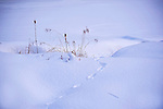 Cattails and Reeds in a Snow Covered Marsh in New Hampshire