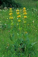 Gelber Enzian, Gentiana lutea, Great Yellow Gentian, Gentiane jaune