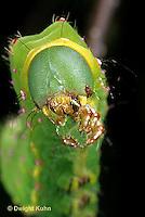 LE12-103x  Luna Moth -  close-up of face of caterpillar - Actias luna