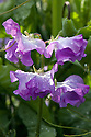 Sweet pea 'Cyril Plater', mid June.