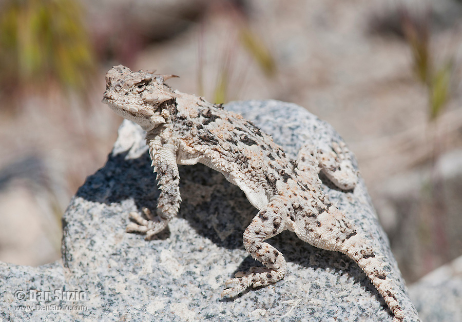 Desert horned lizard, Phrynosoma platyrhinos, in Saline Valley, Death Valley National Park, California