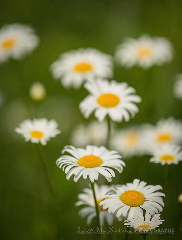 Ox-Eye Daisy wildflowers