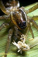 LC02-013a  Wolf Spider - eating planthopper prey - Pardosa distincta