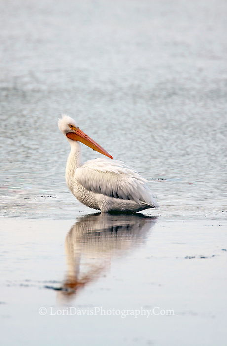 Lone White Pelican  #J20