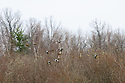 00315-061.20 Blue-winged Teal Duck flock in flight low over trees and brush.  Fly, action, hunt, waterfowl, wetland.