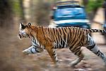 Adult female Bengal Tiger (Panthera tigris) - Durga. Disturbed and running in front of tourist vehicle. Bandhavgarh NP, India.