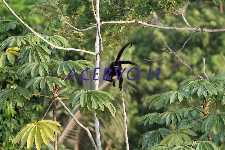 Macaco  aranha.<br />Amazônia, Brasil.<br />Foto Marcello Lourenço